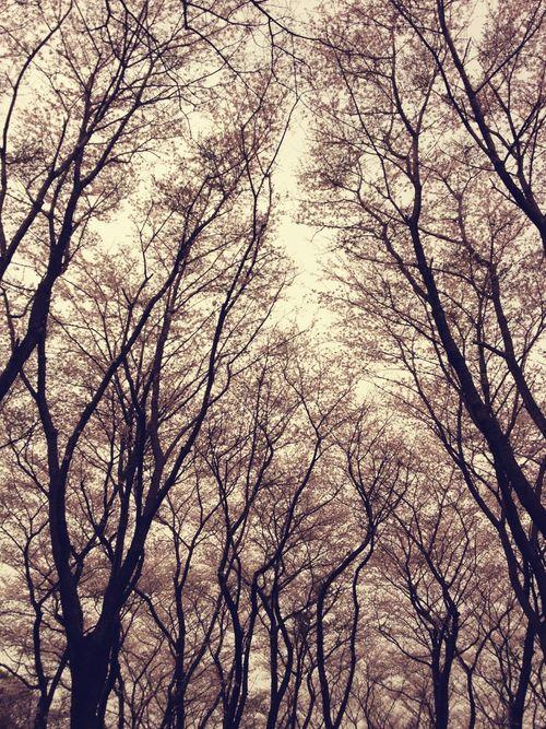 桜*佐倉城址公園